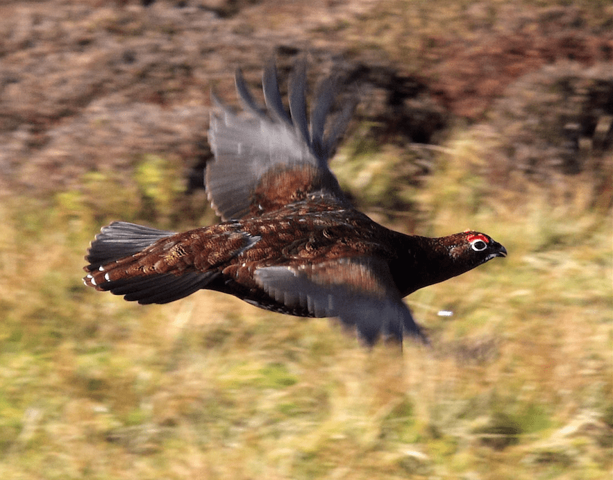 Red Grouse Jagt Skotland