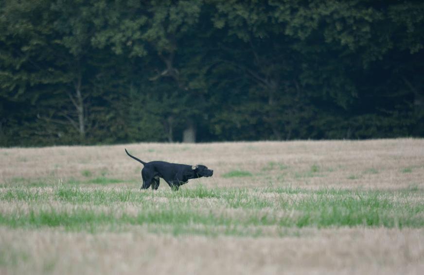 Jagt på Agerhøns