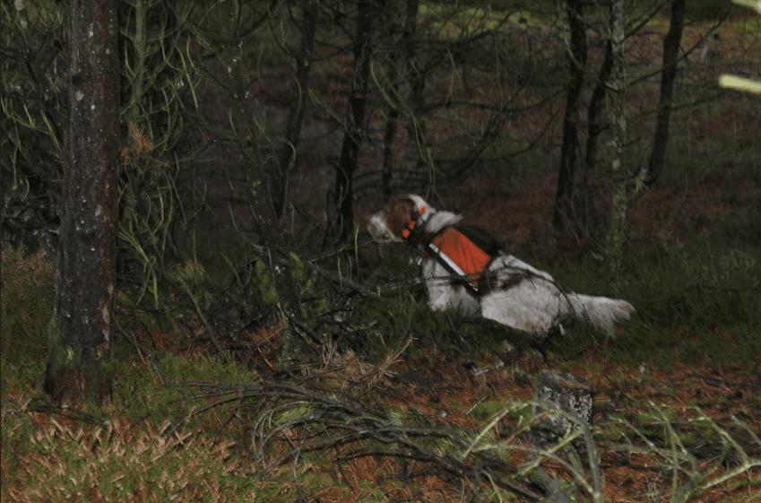 Jagthund stand i skovbunden