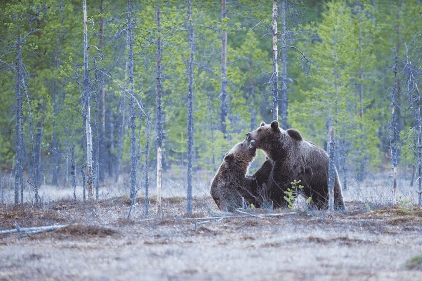 Jagt på brunbjørne i Rumænien