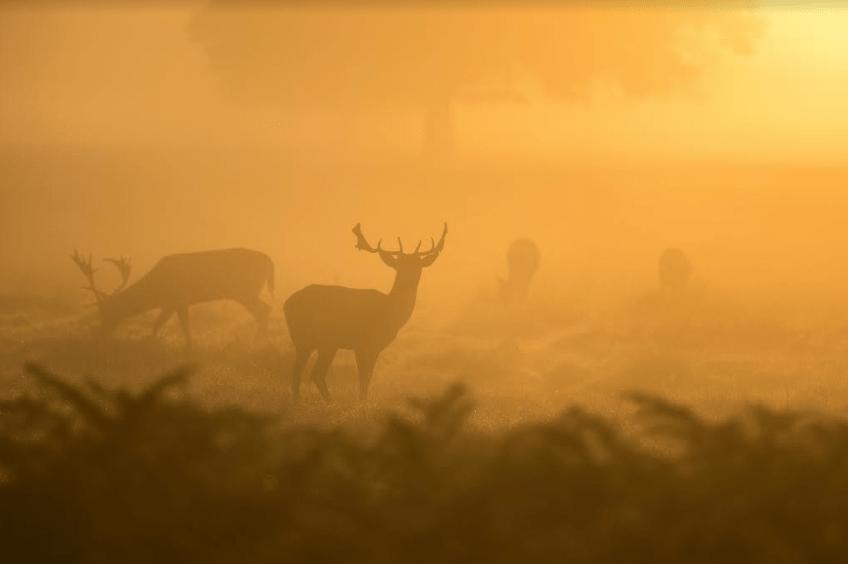 Dåvildt jagt i Rumænien