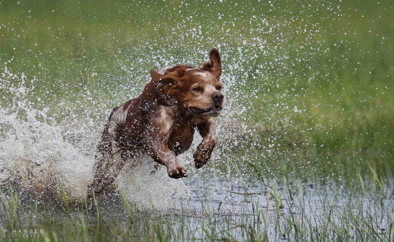 Breton på jagt, løbende i vand