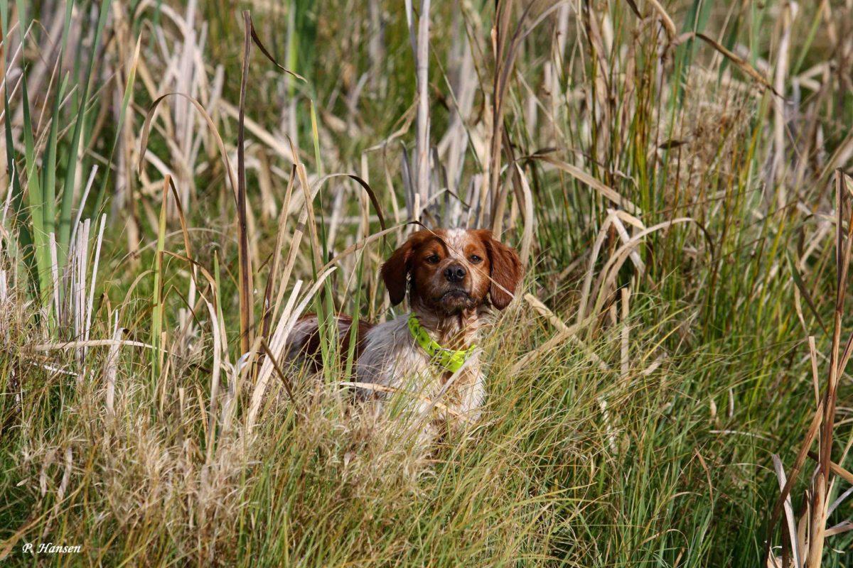Breton på jagt